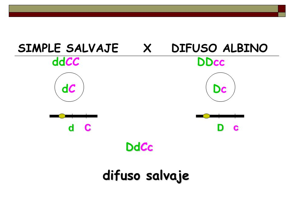 difuso salvaje SIMPLE SALVAJE X DIFUSO ALBINO ddCC DDcc dC Dc DdCc d C