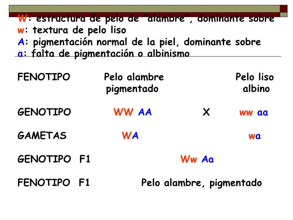 W: estructura de pelo de alambre , dominante sobre