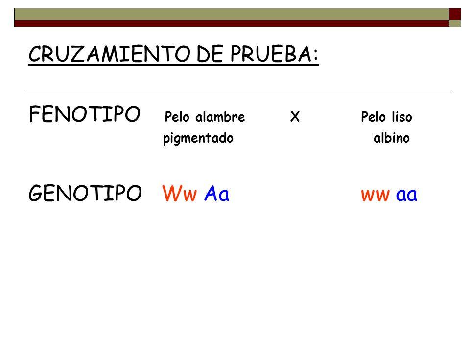 CRUZAMIENTO DE PRUEBA: FENOTIPO Pelo alambre X Pelo liso