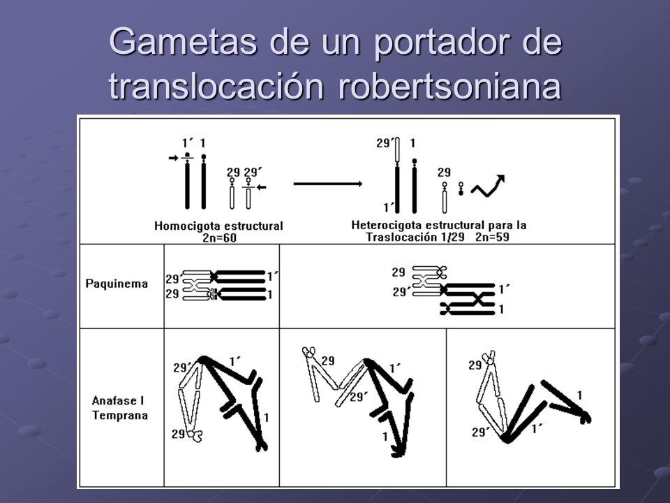 Gametas de un portador de translocación robertsoniana