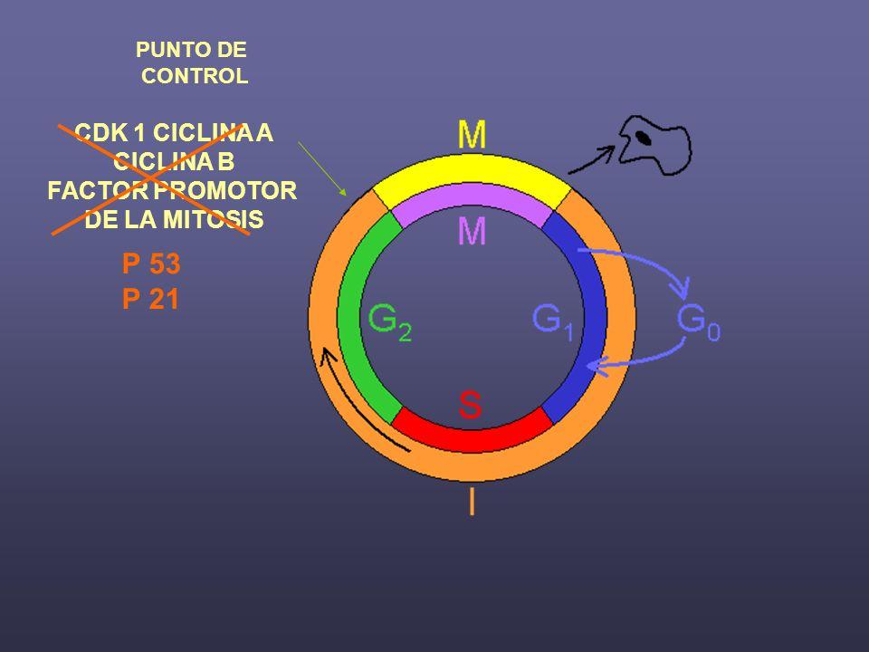P 53 P 21 CDK 1 CICLINA A CICLINA B FACTOR PROMOTOR DE LA MITOSIS