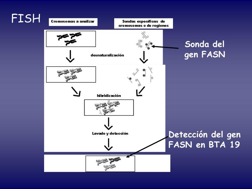 FISH Sonda del gen FASN Detección del gen FASN en BTA 19