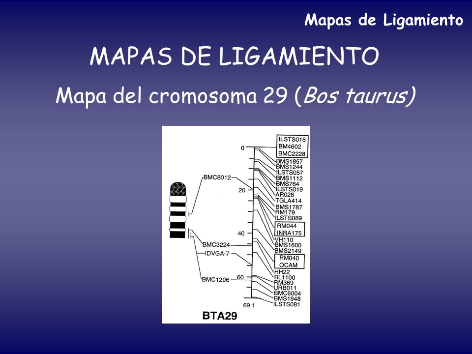 Mapa del cromosoma 29 (Bos taurus)