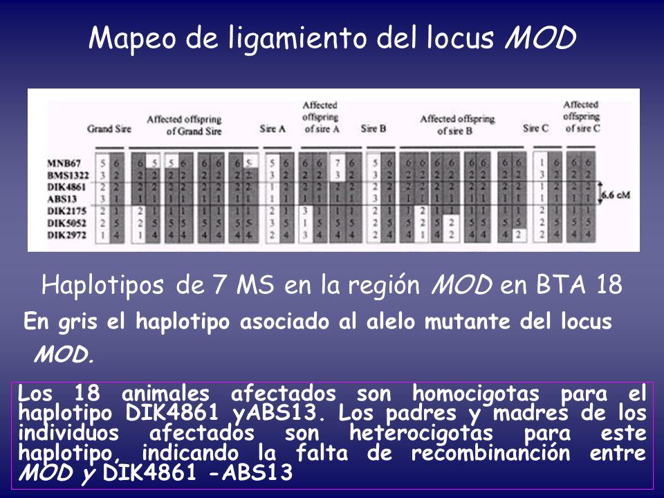 Haplotipos de 7 MS en la región MOD en BTA 18