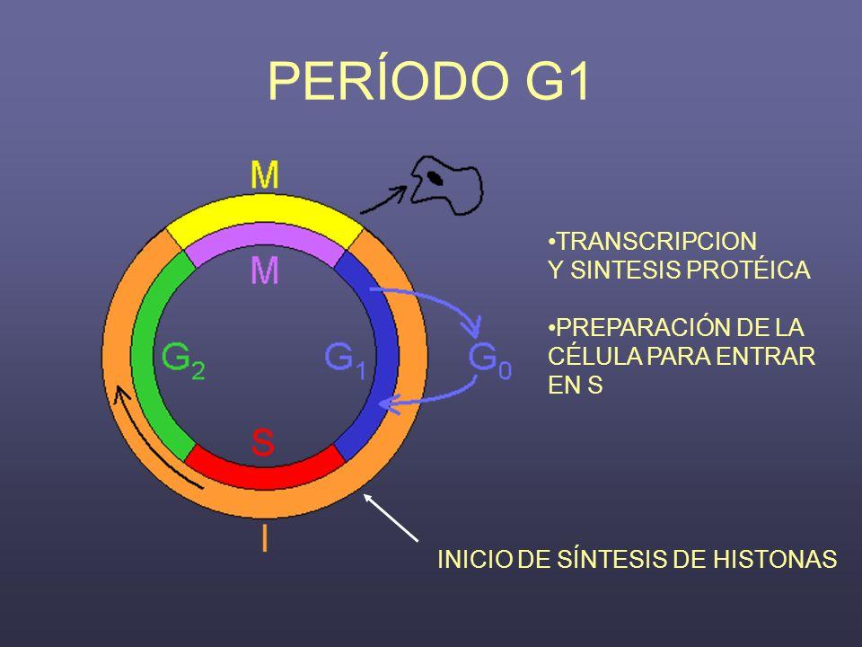 PERÍODO G1 TRANSCRIPCION Y SINTESIS PROTÉICA PREPARACIÓN DE LA