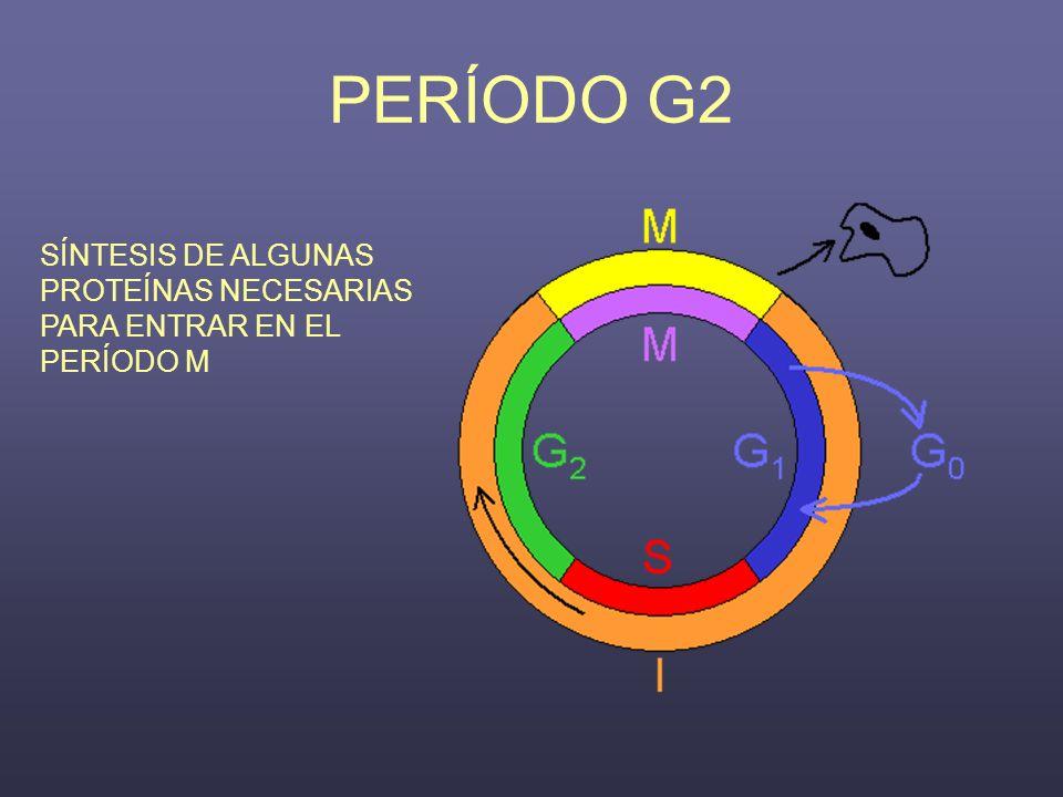 PERÍODO G2 SÍNTESIS DE ALGUNAS PROTEÍNAS NECESARIAS PARA ENTRAR EN EL