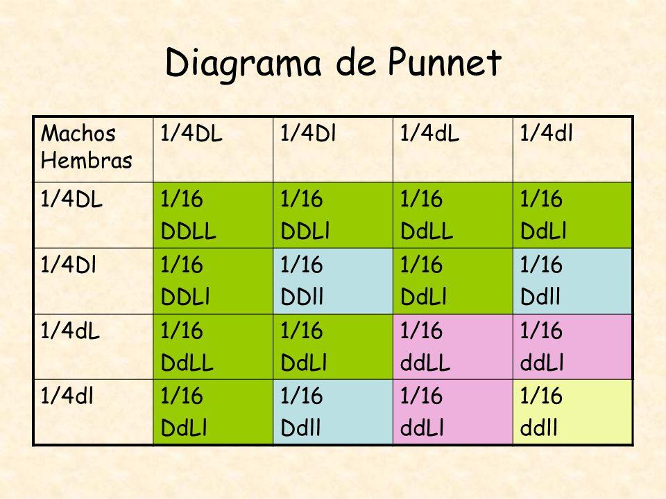 Diagrama de Punnet Machos Hembras 1/4DL 1/4Dl 1/4dL 1/4dl 1/16 DDLL