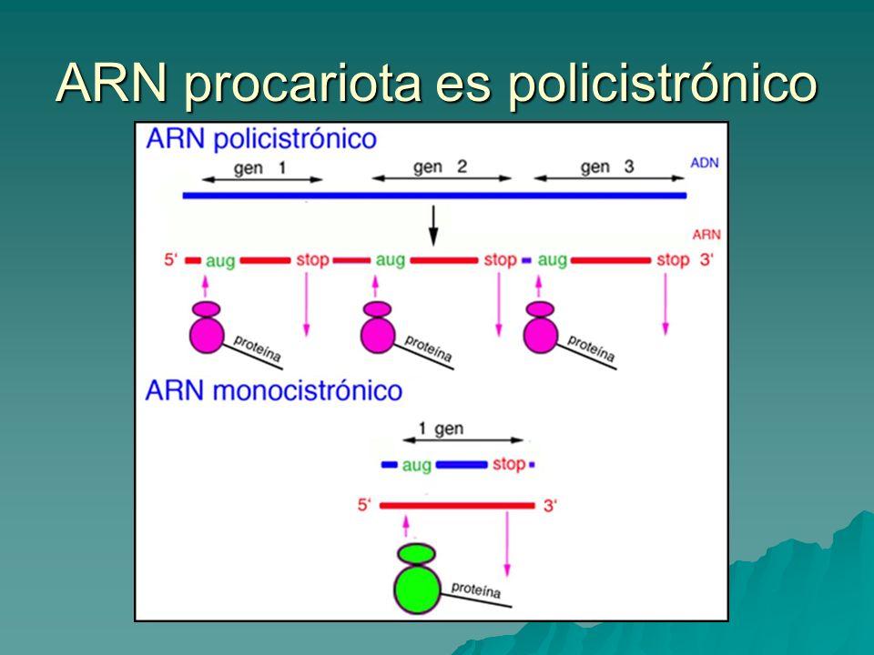 ARN procariota es policistrónico