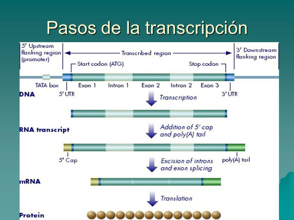 Pasos de la transcripción