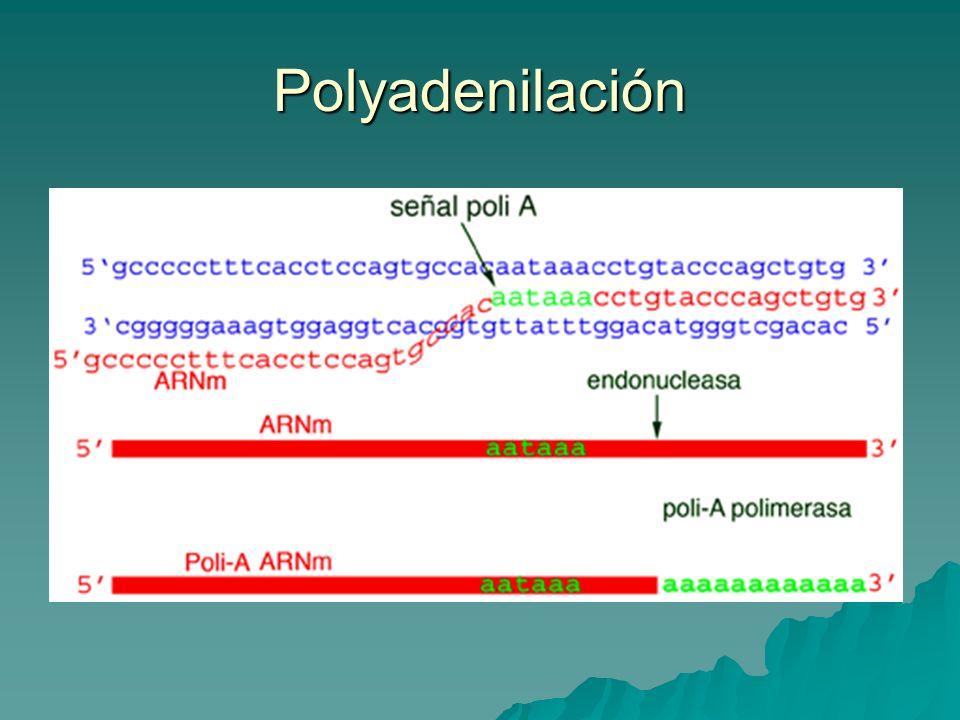 Polyadenilación