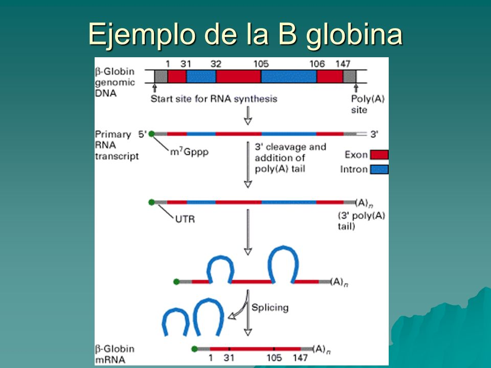 Ejemplo de la B globina