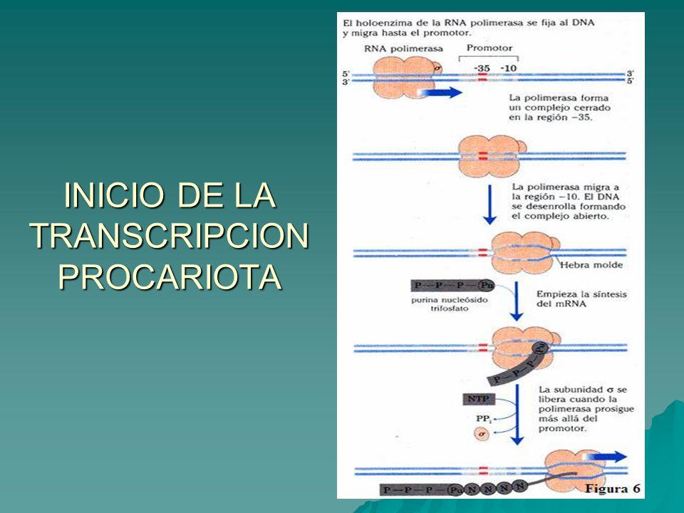 INICIO DE LA TRANSCRIPCION PROCARIOTA