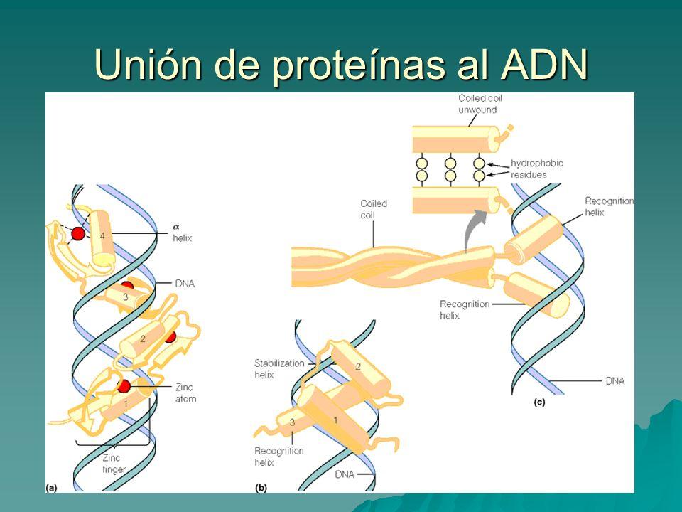 Unión de proteínas al ADN