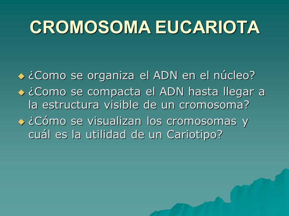 CROMOSOMA EUCARIOTA ¿Como se organiza el ADN en el núcleo