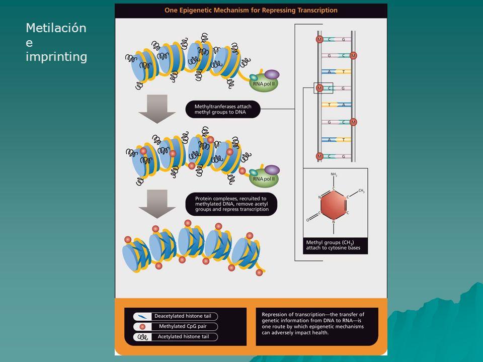 Metilación e imprinting