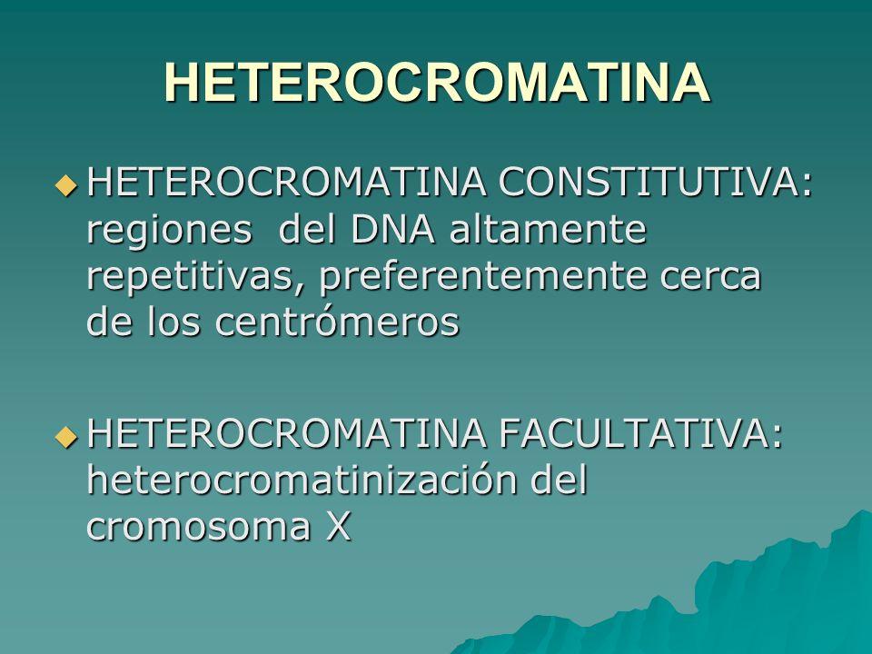 HETEROCROMATINAHETEROCROMATINA CONSTITUTIVA: regiones del DNA altamente repetitivas, preferentemente cerca de los centrómeros.