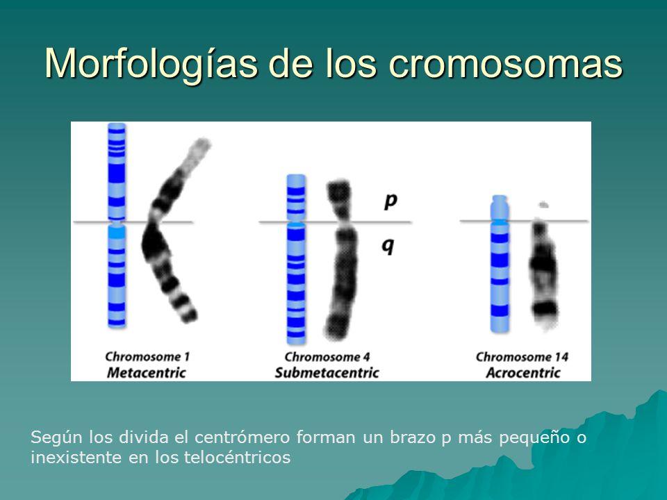 Morfologías de los cromosomas