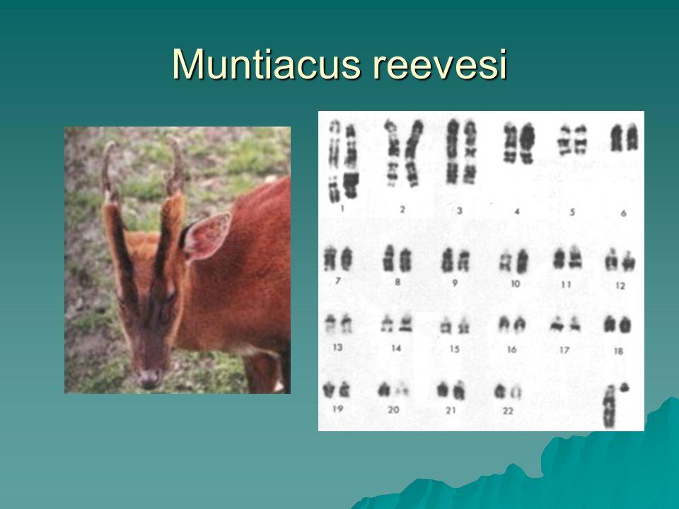 Muntiacus reevesi