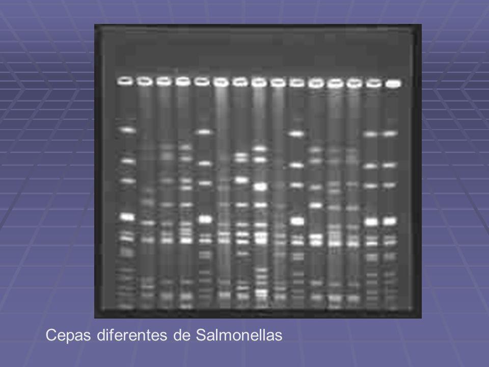 Cepas diferentes de Salmonellas