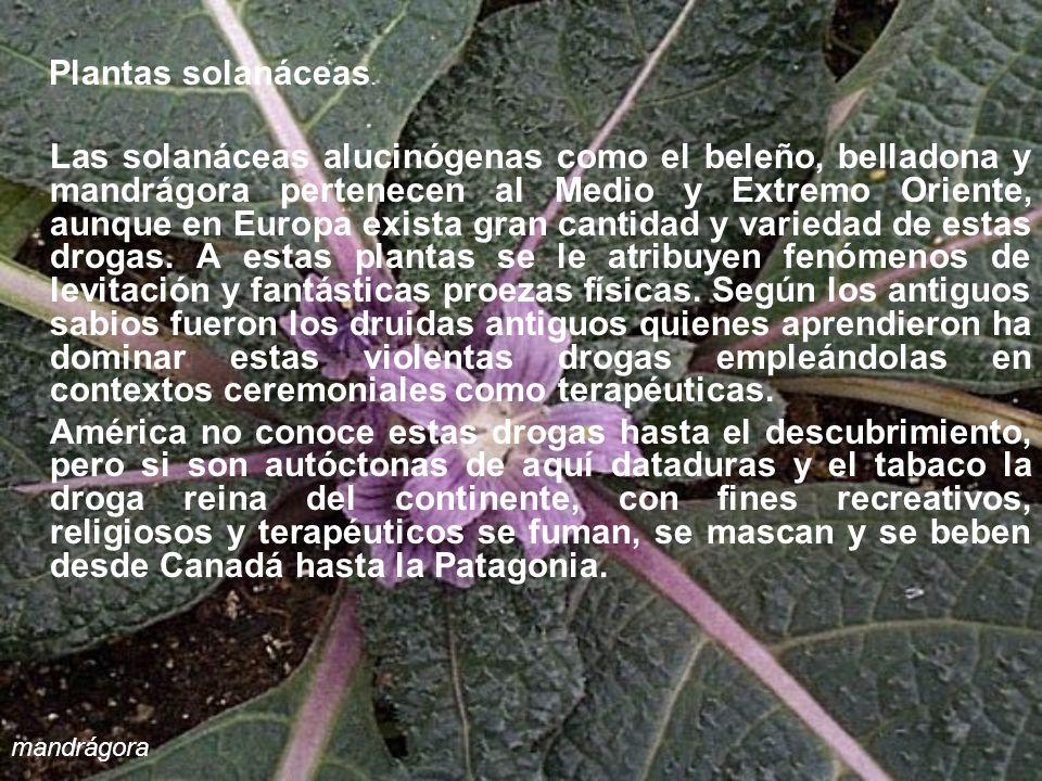 Plantas solanáceas.