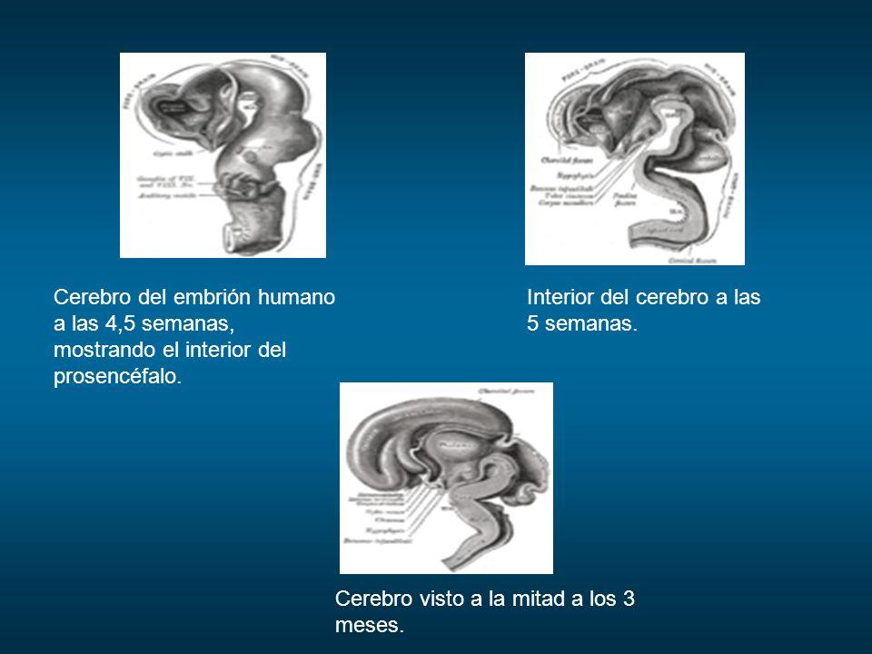 Cerebro del embrión humano a las 4,5 semanas, mostrando el interior del prosencéfalo.