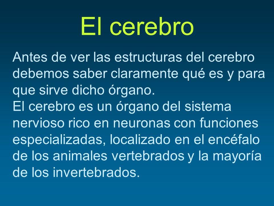El cerebro Antes de ver las estructuras del cerebro debemos saber claramente qué es y para que sirve dicho órgano.
