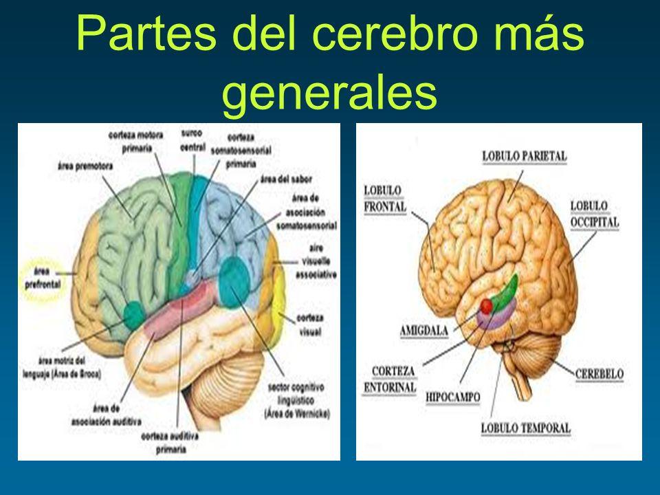 Encantador Partes Del Cerebro Marcados Viñeta - Anatomía de Las ...