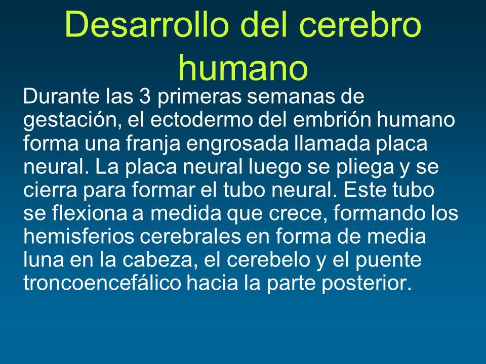Desarrollo del cerebro humano