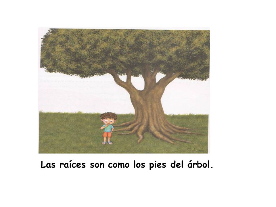 Las raíces son como los pies del árbol.