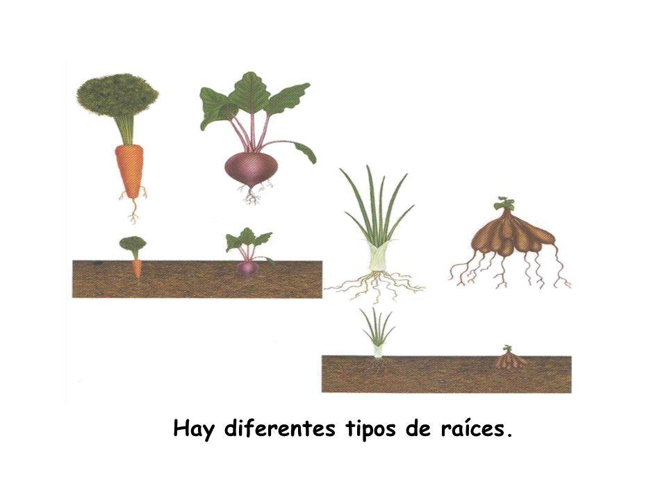 Hay diferentes tipos de raíces.