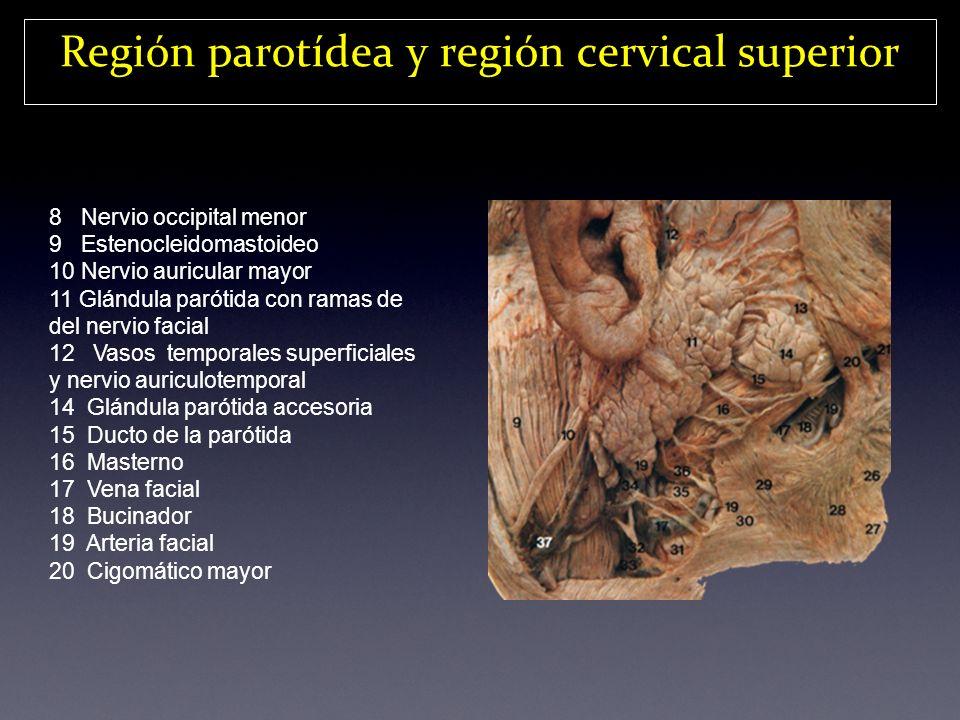 Región parotídea y región cervical superior