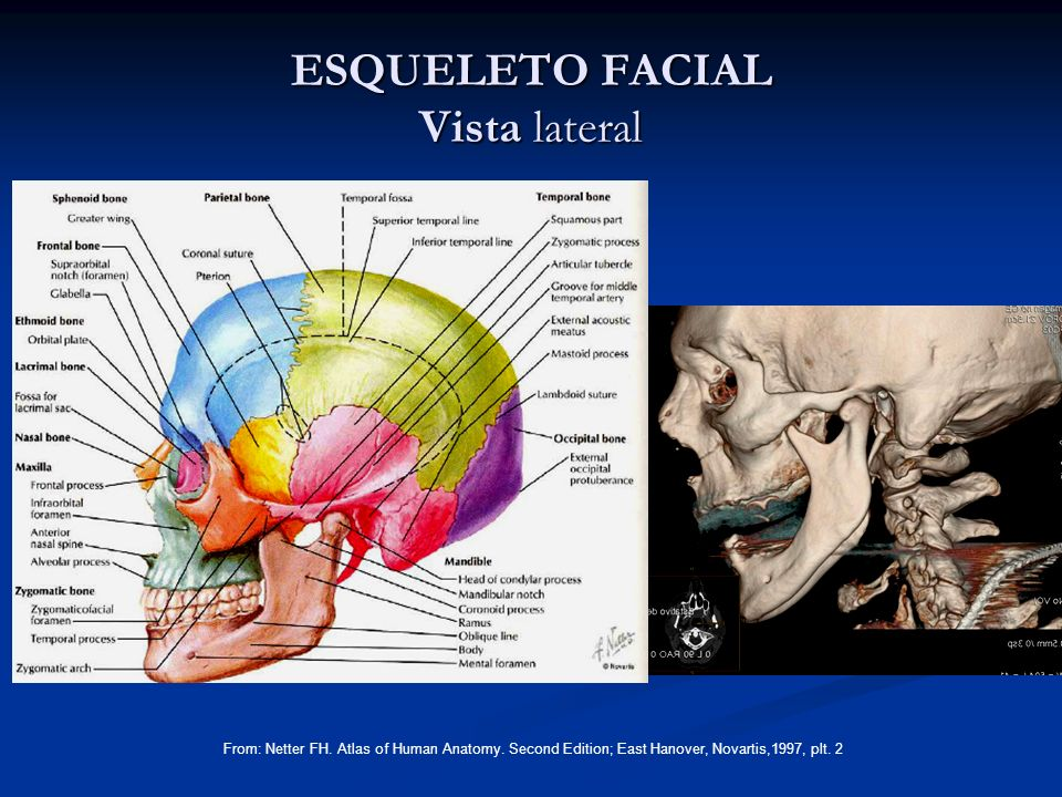 ESQUELETO FACIAL Vista lateral