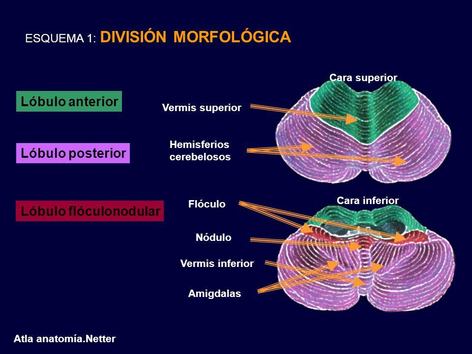 Lóbulo flóculonodular
