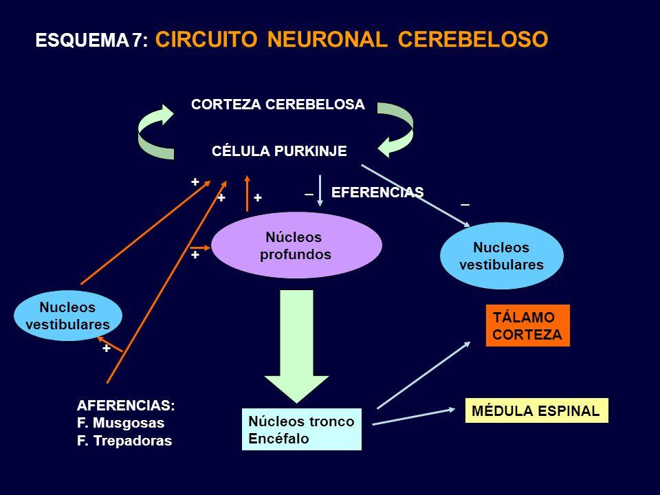 ESQUEMA 7: CIRCUITO NEURONAL CEREBELOSO