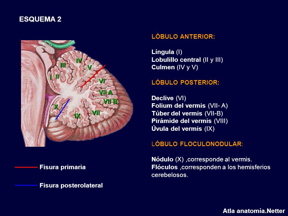 ESQUEMA 2 LÓBULO ANTERIOR: Língula (I) Lobulillo central (II y III)