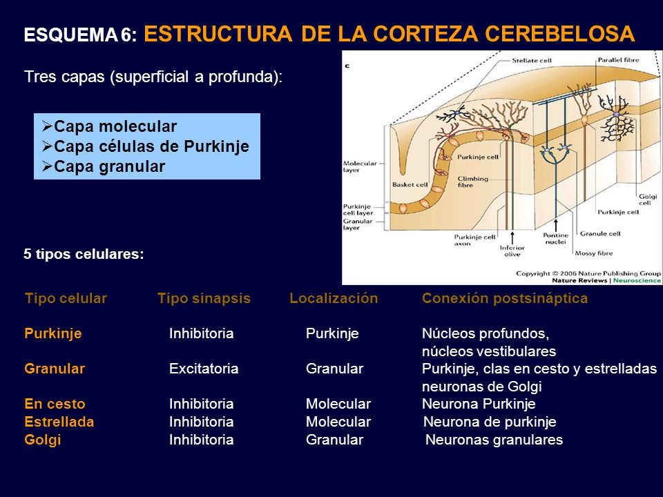 ESQUEMA 6: ESTRUCTURA DE LA CORTEZA CEREBELOSA