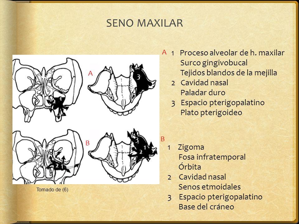 SENO MAXILAR 1 Proceso alveolar de h. maxilar Surco gingivobucal