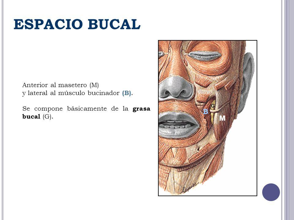 ESPACIO BUCAL B M Anterior al masetero (M)