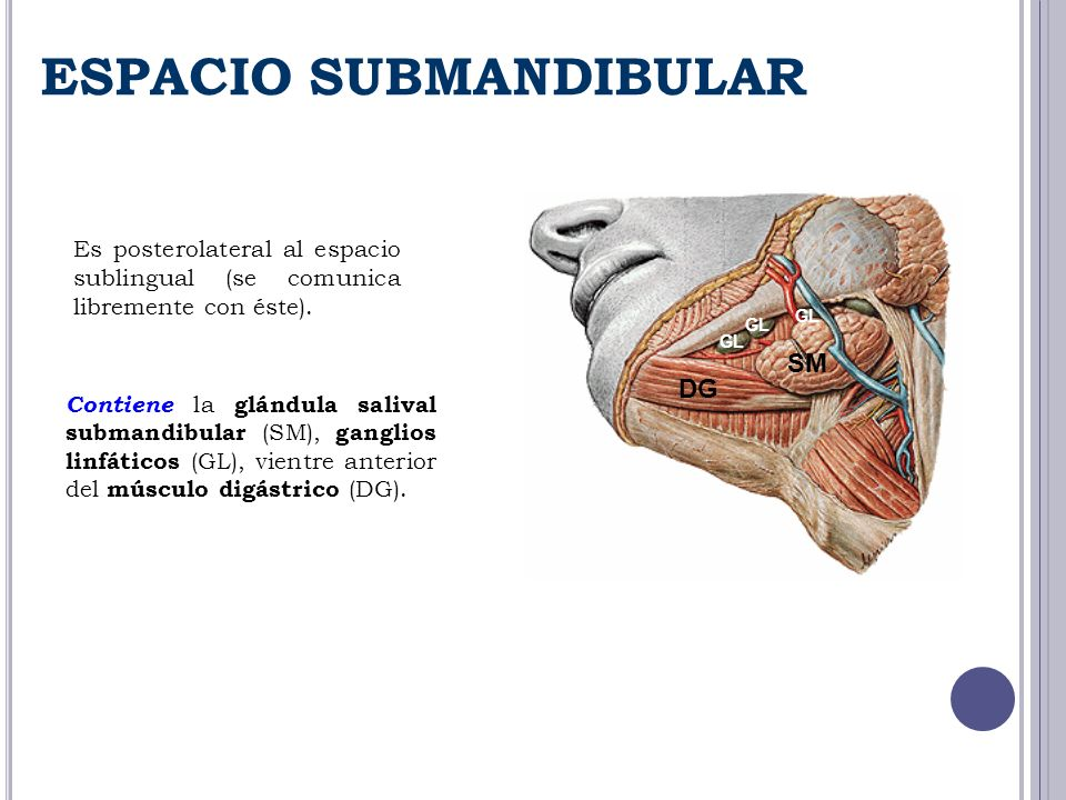 Hermosa Anatomía Del Espacio Submandibular Adorno - Imágenes de ...