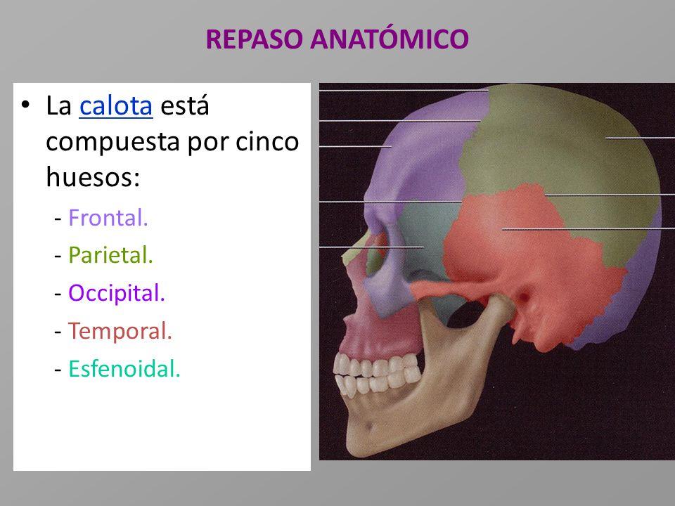 La calota está compuesta por cinco huesos: