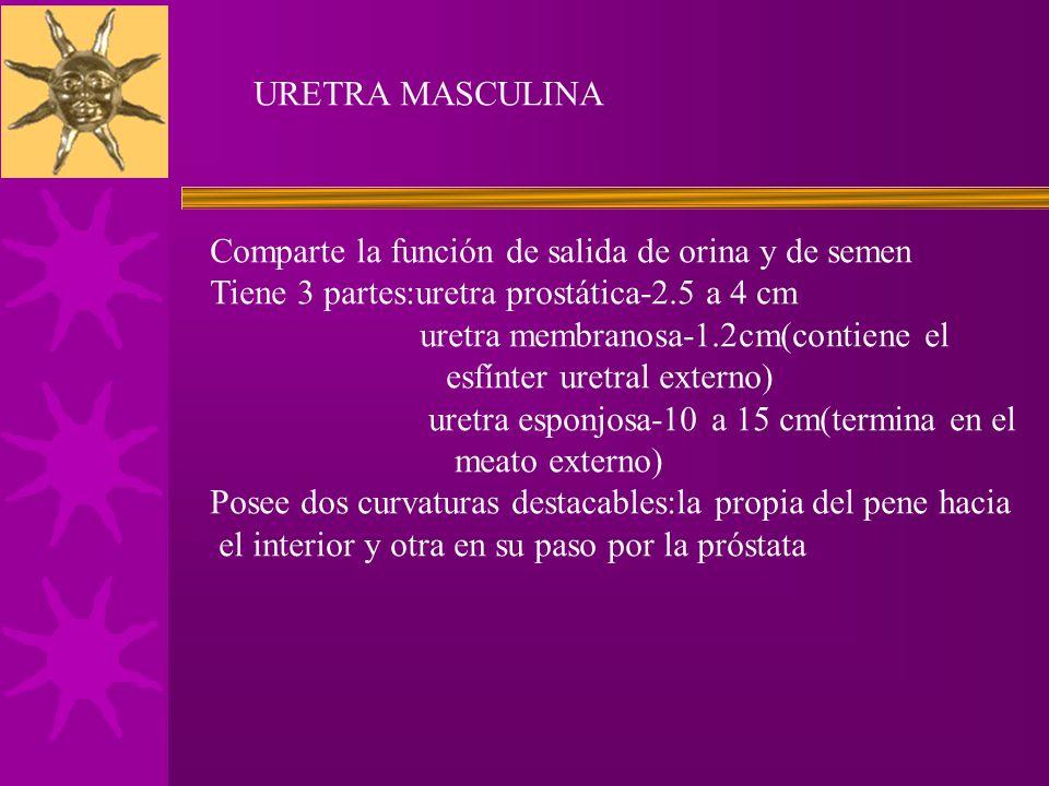 URETRA MASCULINA Comparte la función de salida de orina y de semen. Tiene 3 partes:uretra prostática-2.5 a 4 cm.