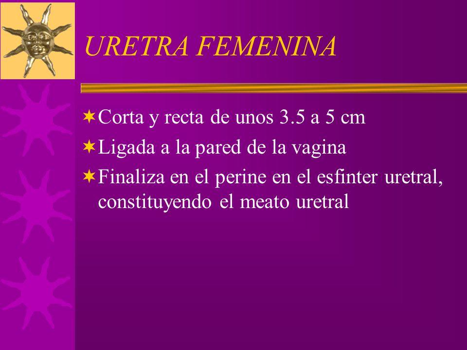URETRA FEMENINA Corta y recta de unos 3.5 a 5 cm