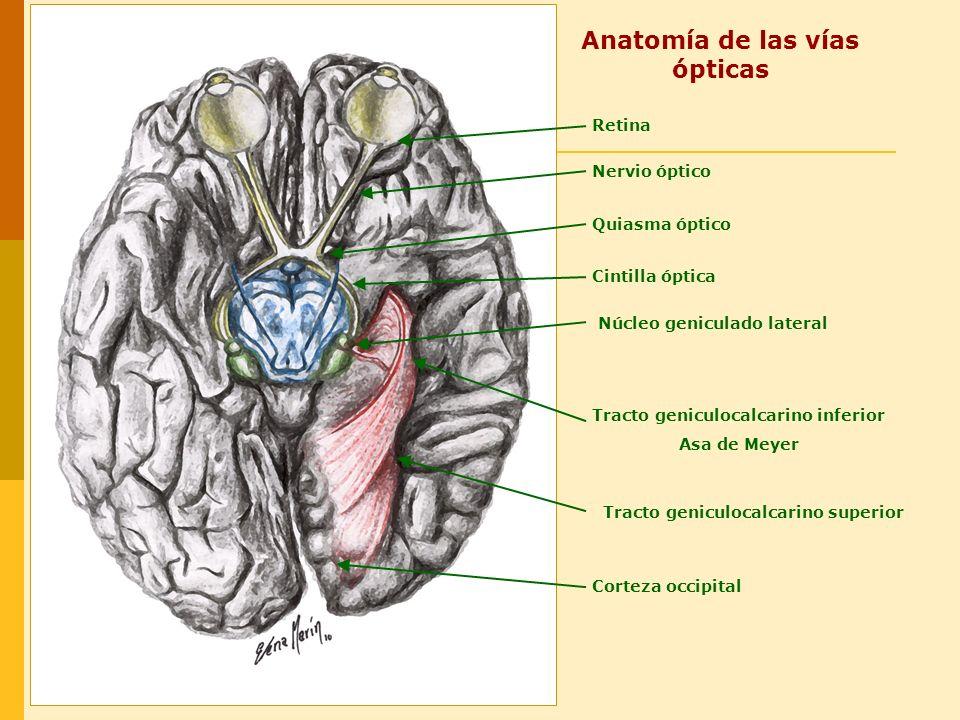 Anatomía de las vías ópticas
