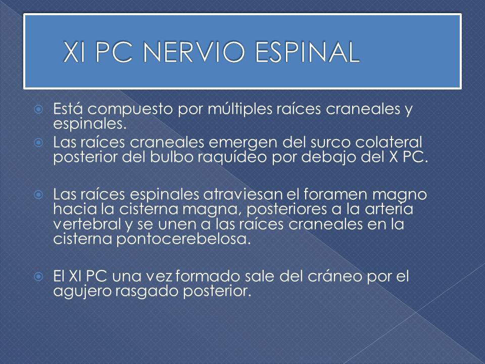 XI PC NERVIO ESPINAL Está compuesto por múltiples raíces craneales y espinales.