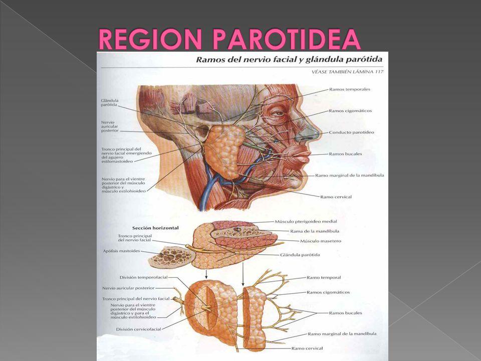 Hermosa Glándula Parótida Anatomía Conducto Bosquejo - Anatomía de ...