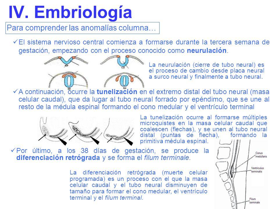 IV. Embriología Para comprender las anomalías columna…
