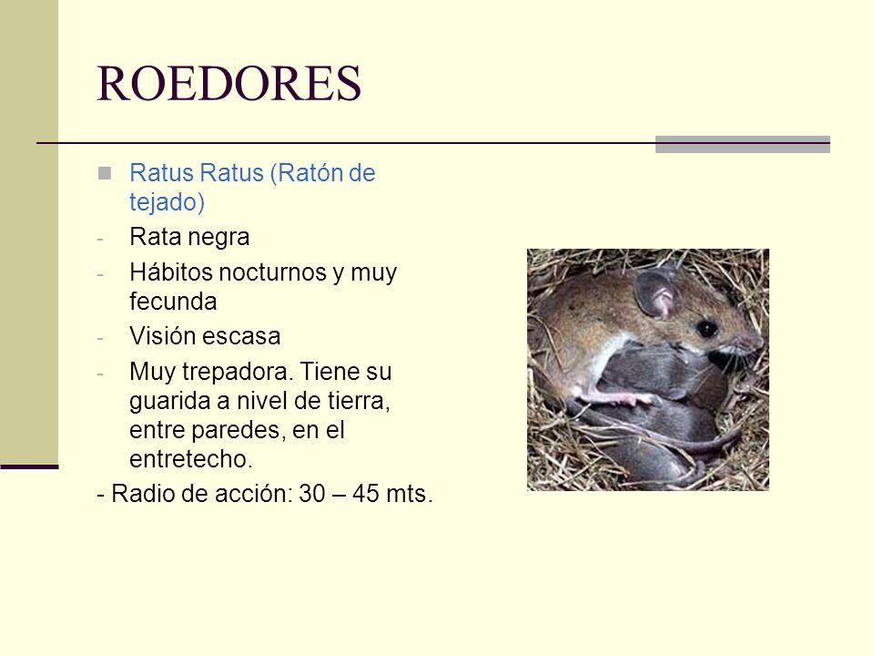 ROEDORES Ratus Ratus (Ratón de tejado) Rata negra