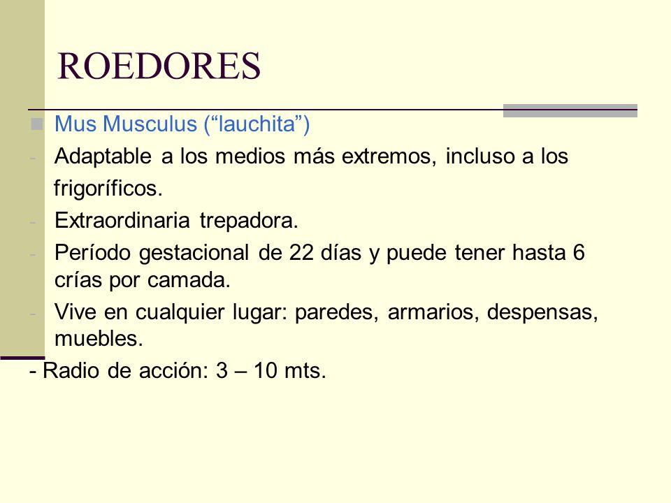 ROEDORES Mus Musculus ( lauchita )