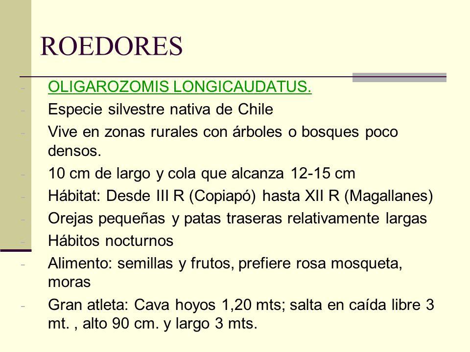 ROEDORES OLIGAROZOMIS LONGICAUDATUS. Especie silvestre nativa de Chile