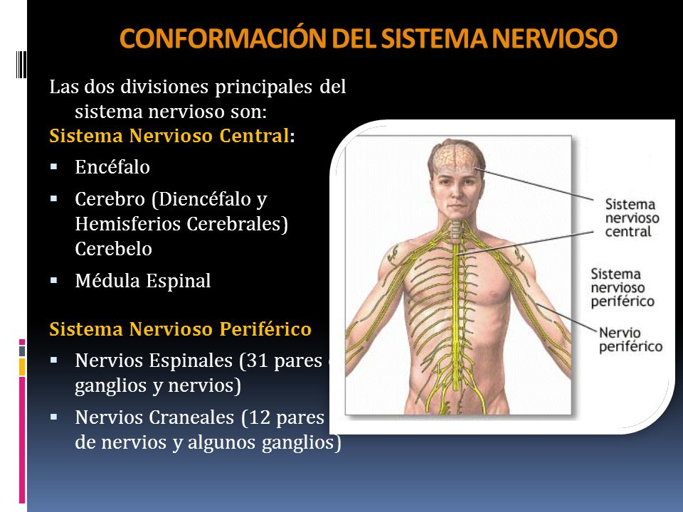 CONFORMACIÓN DEL SISTEMA NERVIOSO
